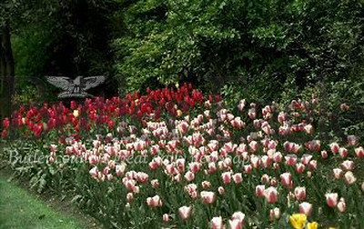 Plant Bulbs in the Fall for a Spring Celebration like  this Mass planting of tulips which provides a sea of color Master Gardeners G.A. Cooper/submitted photo