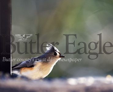 Harold Aughton/Butler Eagle: Tufted titmouse at Jennings Envrionmental Center