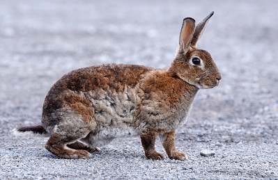 Harold Aughton/Butler Eagle: Exotic bunny rabbits are on the lam in the Island section of Butler.
