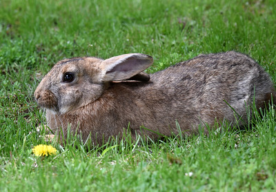 Harold Aughton/Butler Eagle: Exotic bunny rabbits are running wild in the Island section of Butler.