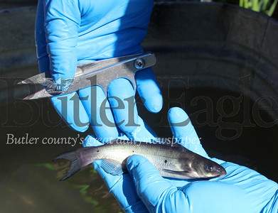 Harold Aughton/Butler Eagle: Fisheries biologists from the Pa. Fish and Boat Commission were on hand to clip the back fin of the catfish for identification purposes prior to release.