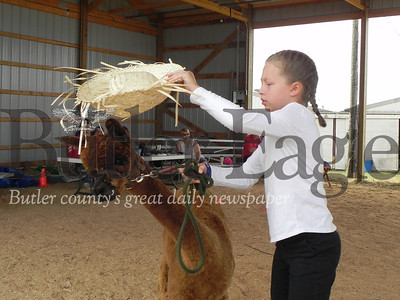 Dassa McKinney Elementary School fifth-grader Sayge Brunst, 10, a 4-H member, puts a hat on her alpaca Astrid in the 4-H Alpaca Showmanship and Obstacle Course at the Butler Farm Show. Photo by Gabriella Canales.