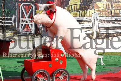A pig performs as part of the Pork Chop Review show at 2019 Farm Show. Seb Foltz/Butler Eagle