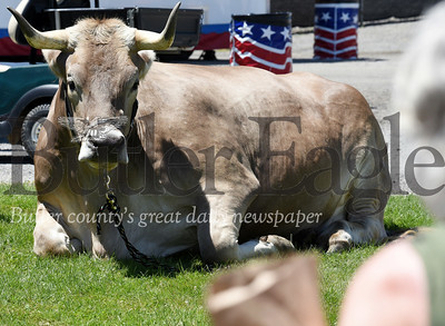 Harold Aughton/Butler Ealge: One of the new attractions this year at the Butler Fair is a 3,295 lb Brown Swiss Ox, named Lee.