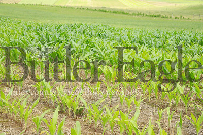 Heavy rains this season have wreaked havoc on Thiele Farms corn crop. Over saturation of some sections of corn fields has stunted crop growth and yellowed unhealthy crops. While other corn planted during the same time period has grown normally. Excessive rains and resulting drainage has also washed way fertilizer on select portions of fields (pictured) causing noticeable disparities in crop growth. Seb Foltz/Butler Eagle