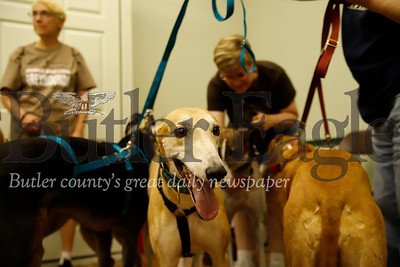 'Teddy' and other retired greyhounds from Nittany Greyhounds socialize at Saturday's Paws for Health Fundraiser. Seb Foltz/Butler Eagle