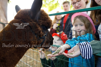 Honor Christensen, 6, feeds Baldor the Alpaca from Asgard Acres Alpaca Farm at Zelienople Fall Festival Saturday. Seb Foltz/Butler Eagle 2019
