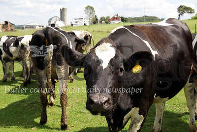 Cows enjoy a sunny day in the pasture at Thiele Farm near Saxonburg Friday. Seb Foltz/Butler Eagle