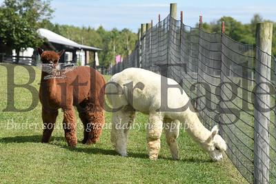 Harold Aughton/Butler Eagle: WestPark Alpacas