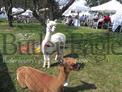Alpacas Buffalo Bill and McGregor were among the animals who made an appearance at this year's festival.