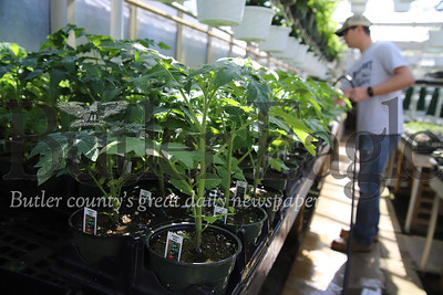 Tomato plants in Schnur's Greenhouse in Butler. Greg Schnur pictured. Seb Foltz/Butler Eagle 04/02/20