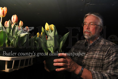 Jim Schnur, owner of Schnur's Greenhouse in Butler puts a pot of tulips on a shelf in a cooling room(keeping the plants from fully blooming) Thursday. Schnur said with area churches closed through easter week, he's had a number of canceled flower orders in what would otherwise be a busy spring season.  04/02/20. Seb Foltz/Butler Eagle