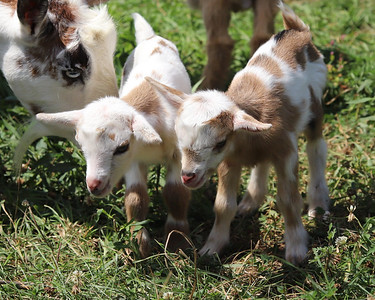 Baby goats born last Friday (08/07/20) bred by Butler County 4-H member and Knoch junior Kendyl Steighner, 16, of Saxonburg. Steighner started with one goat in seventh grade and has grown her herd to 9, although some of the younger goats have already been claimed. Seb Foltz/Butler Eagle 08/12/20