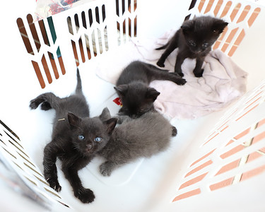 Kittens found by Jim and Alice Stewart of Center Township. The couple named them Ponderosa, Arby, Wendy and McDonald. Seb Foltz/Butler Eagle Aug 2020