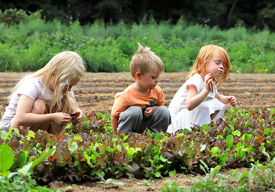 Siblings Mackenna, 7, Declan, 3, and Althea Kellogg inspect and snack on some lettuce on their family farm in Slippery Rock Tuesday. Seb Foltz/Butler Eagle