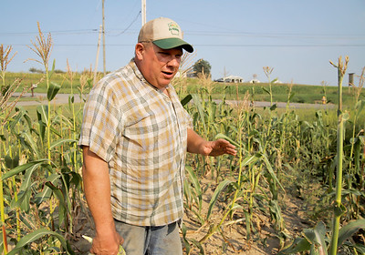 Ken Metrick of Harvest View Farm walks through one of his corn fields most effected by drought. Metrick said the drought has increased deer problems and stunted growth of some of his corn. Seb Foltz/Butler Eagle 08/26/20