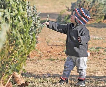 Nolan Kimmell,1, of Cabot checks a Christmas Tree at Cypher's Tree Farm in Butler Thursday. Kimmell was picking trees with his brother Emmitt,4, and mother Missy. Seb Foltz/Butler Eagle 12/10/20