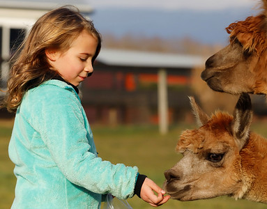 Emma Watenpool, 6, of McCandles feeds an alpaca at WestPark Alpacas farm in Slippery Rock Saturday. Seb Foltz/Butler Eagle 12/12/20