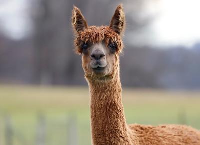 WestPark Alpacas farm in Slippery Rock Saturday. Seb Foltz/Butler Eagle 12/12/20