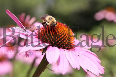 A bee polinates a flower at the Cranberry Highlands Community Apiary. Seb Foltz/Butler Eagle 07/19/20