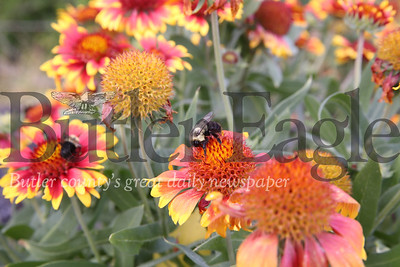Bees polinate flowers at the Cranberry Highlands Community Apiary. Seb Foltz/Butler Eagle 07/19/20