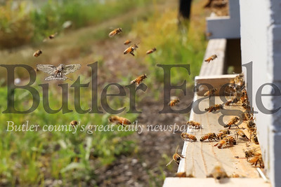 Bees enter and exit one of the hives at Cranberry Highlands Community Apiary. Seb Foltz/Butler Eagle 07/19/20