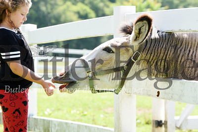 Harold Aughton/Butler Eagle: Teagan Bowers, 8, feeds her pet Zonkey at her grandmother's farm Kathy Kummer in Meridian Friday, July 17, 2020.