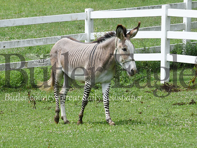 Harold Aughton/Butler Eagle: Zeus, the Zonkey, lives on Meridan road at the farm of Kathy Kummer.