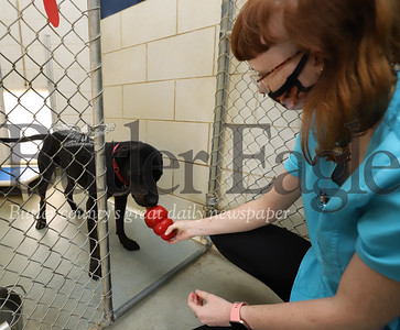 Kennel assistant Sayge Ottenberg gives 'Munchie,' a shelter lab mix, a Kong treat at the Butler County Humane Society Friday. Seb Foltz/Butler Eagle 06/26/20