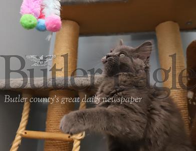 'Stormy,' a kitten at Butler Humane Society. Seb Foltz/Butler Eagle