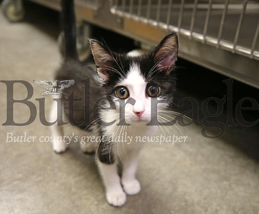 'Berlin,' a humane society kitten, wanders around the examination room at the Butler County Humane Society Friday. Seb Foltz/Butler Eagle 06/26/20
