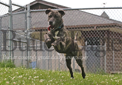 'Willy,' a pit bull terrier mix, leaps after a squeeky toy in the Butler County Humane Society's play area Friday. Seb Foltz/Butler Eagle 06/26/20
