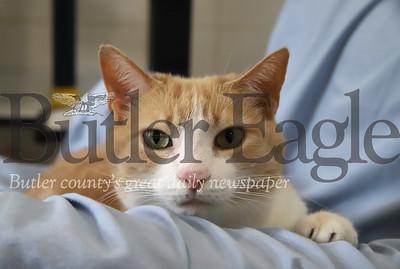 Cat at Butler County Humane Society. Seb Foltz/Butler Eagle