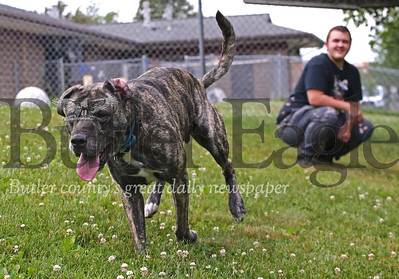 'Willy,' a pitbull terrier mix, chases after a squeeky toy thrown by shelter volunteer Tyler Boyer in the Butler County Humane Society's play area Friday. Seb Foltz/Butler Eagle 06/26/20