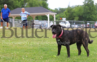 'Bella' waits for her owner Jaki Lemankiewicz(not pictured) to throw a ball Saturday at the Cranberry Rotary Dog Park. Seb Foltz/Butler Eagle 06/27/20