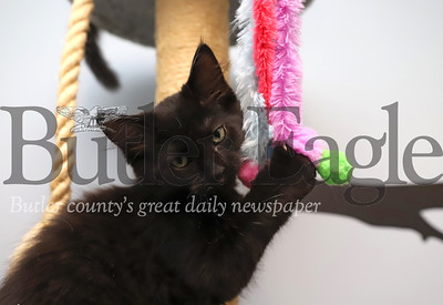 'Crow,' kitten at Butler Humane Society. Seb Foltz/Butler Eagle