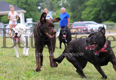 'Bella' (right), 'Ryder' and other dogs romp at the Cranberry Rotary Dog Park Saturday. Seb Foltz/Butler Eagle 06/27/20