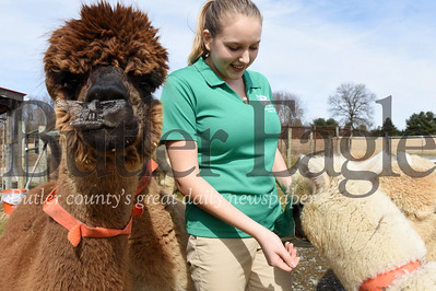 Harold Aughton/Butler Eagle: Jillian Ranko the new president of the PA 4-H State Council recently fed her alpacas Thursday, March 5, 2020.