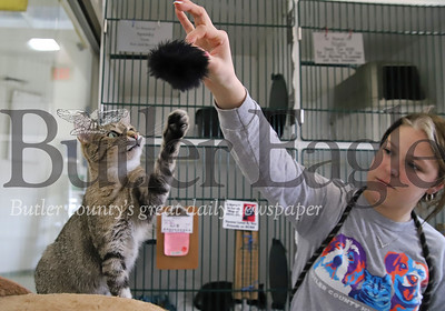 Kennel assistant Amy Hill plays with Nana, one of the Butler County Humane Society's cats, Friday. Officials with the humane society are reporting a significant rise in adoption and foster ratest during the COVID-19 pandemic. The shelter has also started a pet food pantry for area residents who may be financially constrained or otherwise in need during the outbreak. Seb Foltz/Butler Eagle