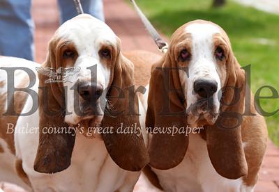 basset hounds hercules and queen