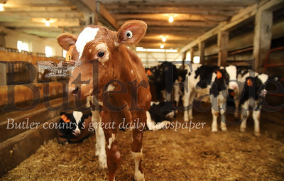 Calves in the nursery area of Bergbigler Farm. Seb Foltz/Butler Eagle 05/14/20