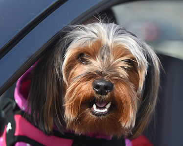 Luna the Yorkie from Kittanning made an appearance at the Pittsburgh Food Bank distributed more than 600 boxes of food at the Lernerville Speedway Tuesday morning November 24, 2020. Harold Aughton/Butler Eagle.
