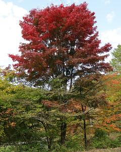 Maple tree in Alemeda Park this week. Seb Foltz/Butler Eagle Oct. 7