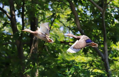 Ducks fly along the Lake Arthur shoreline at Moraine State Park Wednesday.Seb Foltz/Butler Eagle 09/09/20