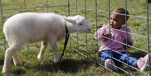 """Mr. Sheep"" a two-month-old lamb greets Stella Mugo, 1, at Saturday's Winfield Township Easter Egg Hunt Saturday. Seb Foltz/Butler Eagle"