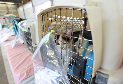 A kitten waits in its cage following a vet visit at the Butler City Farmers' Market Thursday. Organizers from the Community Cat Network arranged a free clinic day to treat stray cats and low income area resident's pets. Seb Foltz/Butler Eagle