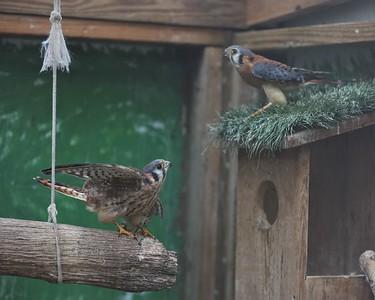 American Kestrel falcons at Wildbird Recovery. Seb Foltz/Butler Eagle 07/28/21