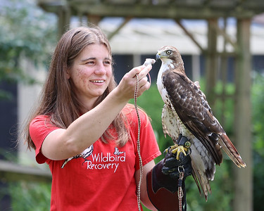 """Pennsylvania licensed wildlife rehabilitator Amber Treese offers """"Ash"""" a juevenile Red-Tailed Hawk at Wildbird Recovery a dead mouse to eat. Ash was found with a permenantly injured right wing and would be unable to survive in the wild.  Seb Foltz/Butler Eagle 07/28/21"""