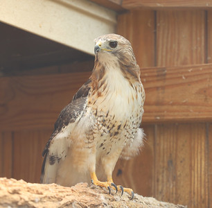 """""""Teris"""" a Red-tailed Hawk sits on a perch at Wildbird Recovery. Seb Foltz/Butler Eagle 07/28/21"""