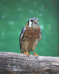 One of the American Kestrel falcons at Wildbird Recovery sits on a perch. Seb Foltz/Butler Eagle 07/28/21